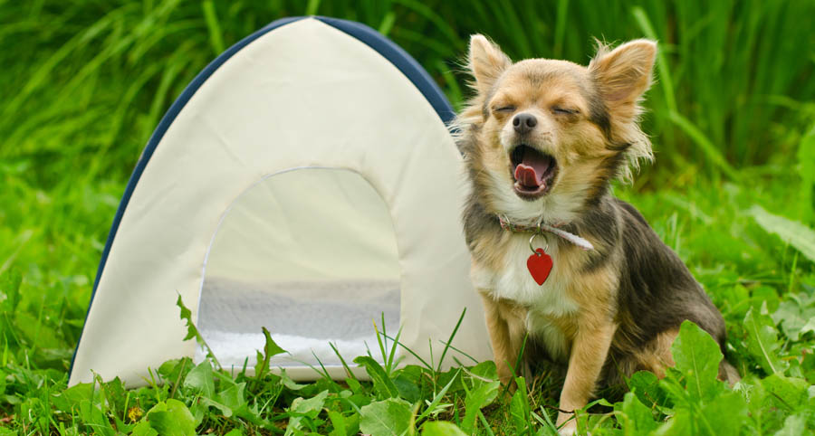 Dog with small tent
