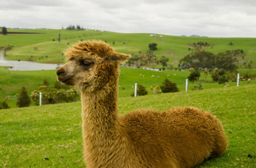 Can I have an alpaca in my backyard?