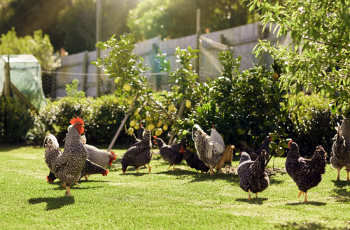 Backyard Chickens - Beginner's Guide