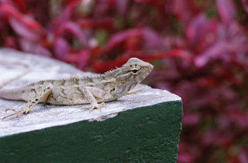 What do backyard lizards eat?