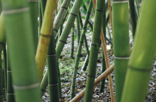 How to kill bamboo?