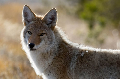 How do I get rid of coyotes in my backyard?