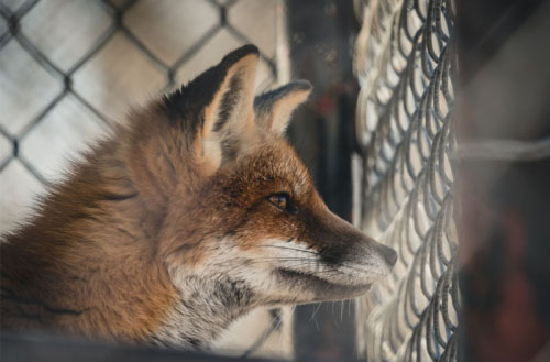 Can foxes climb fences?