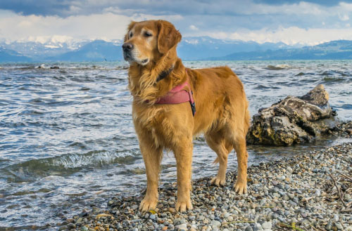 Golden Retriever FAQ