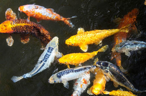 Can you eat koi fish?