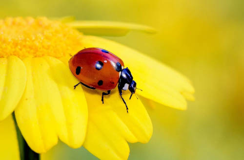Do ladybugs eat ants?