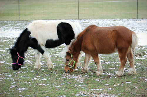 Can I keep a miniature horse in my backyard?
