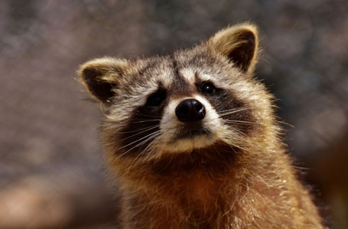 How can I get rid of raccoons in my backyard?