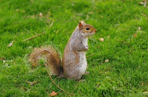 Can you eat squirrels from your backyard?