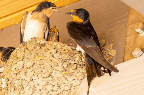 How to get rid of barn swallow nest?