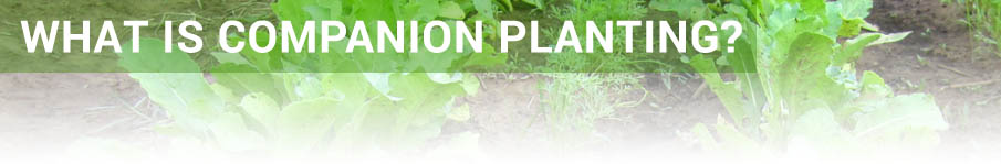 What is Companion Planting?